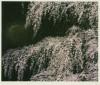 千住 博 「桜満開」 Hiroshi Senju